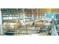 Credite pentru sucevenii crescători de bovine