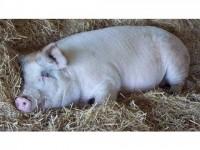 Apropierea sărbătorilor aduce o creştere a furturilor de animale