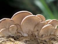 Efectele terapeutice ale ciupercilor pleurotus