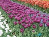 Peste 400.000 de flori şi 500 de puieţi de arbori, plantaţi, în această primăvară, în Suceava