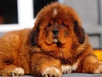 Cel mai scump câine din lume, un Mastiff Tibetan, cumpărat în China cu 1,9 milioane de dolari
