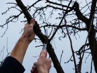 Cursuri gratuite vizând tăierile corecte la pomii fructiferi