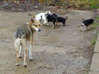 85 de câini fără stăpân au fost eutanasiaţi în adăposturile de pe malul Sucevei