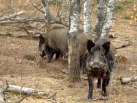 În judeţul Suceava se intensifică măsurile pentru prevenirea pestei porcine