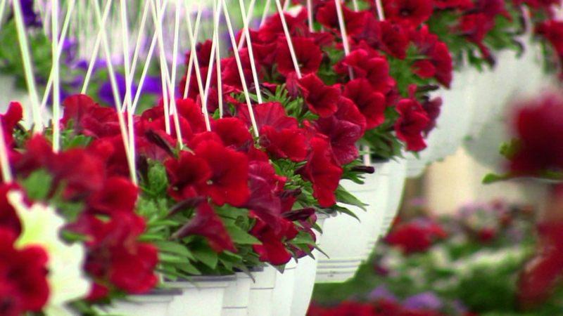 Primăria Suceava vrea să producă mai multe flori ornamentale