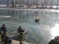 Cerb salvat de pompieri dintre sloiurile de gheaţă ale râului Bistriţa