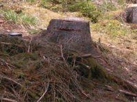 O societate comercială din Suceviţa este cercetată pentru tăierea ilegală a 58 de arbori