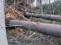 Un nou caz de false doborâturi naturale de arbori depistat de Garda Forestieră