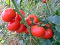 Judeţul Suceava are 35 de producători de tomate în sistem protejat