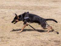 Câinele poliţist de frontieră Abay a găsit două arme şi aproape 500 de alice