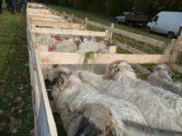 300 tone de lână de la crescătorii de oi care cer ajutorul de stat de 1 leu/kg