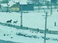 Scandal după ce un cerb a fost surprins, la Breaza, alergând, într-o curte, alături de un cal