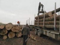 Transporturi ilegale de lemn surprinse în cascadă de inspectorii Gărzii Forestiere Suceava