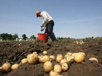 Viitoarea recoltă de cartofi este ameninţată de mană