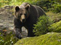 Un urs a fost observat în comuna Pojorâta