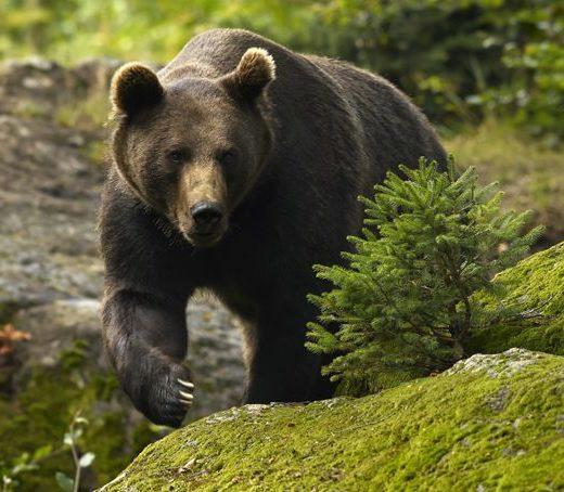 Un bărbat din Bogdăneşti a fost atacat de urs