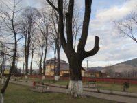 Stejarul Unirii de la Mănăstirea Humorului