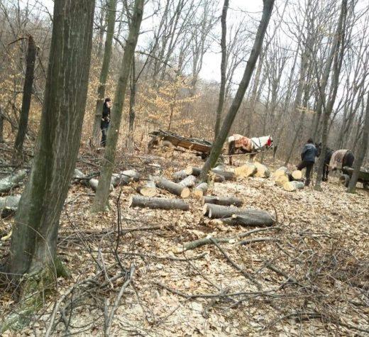 Două sesizări penale pentru tăiere ilegală şi sustragere de arbori