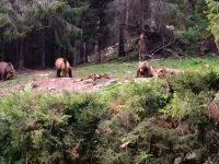 Imagini senzaţionale cu patru urşi, ieşiţi din pădure să mănânce