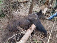Ursul împuşcat nu a mai fost găsit la locul incidentului