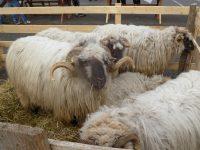 Peste 140 de crescători suceveni nu au unde livra circa 100.000 de tone de lână