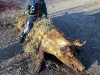 Tăiatul porcului şi alte obiceiuri de Crăciun la rromii căldărari din Hancea-Vereşti