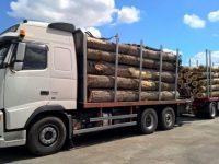 Gardienii forestieri şi poliţiştii au luat urma transporturilor fictive de buşteni