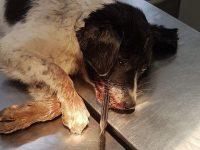 Şapte poliţişti, între care un expert criminalist, au anchetat două zile cum a ajuns un câine să aibă înfiptă o tijă metalică în gură
