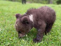 Un pui de urs ajuns în Mălini a fost relocat într-un centru de îngrijire din Harghita