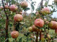La Rădăşeni şi Fălticeni: Circa 100 ha de livadă,  afectate de grindină