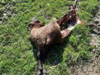 Ursul atacă din nou în zona Broşteni