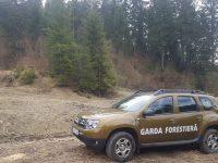 Arbori tăiaţi ilegal pe raza OS Dealu Negru, depistaţi de Garda Forestieră Suceava, în baza sesizării unui jurnalist